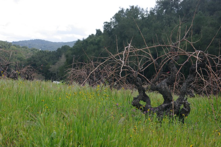 Zin vines au naturel at Turley Wine Cellars in Paso Robles