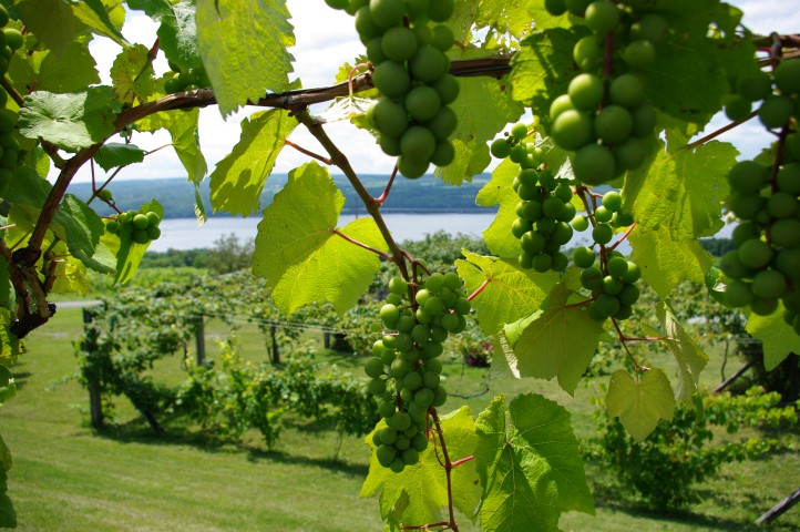 Grapes at Chateau Lafayette on Seneca Lake.